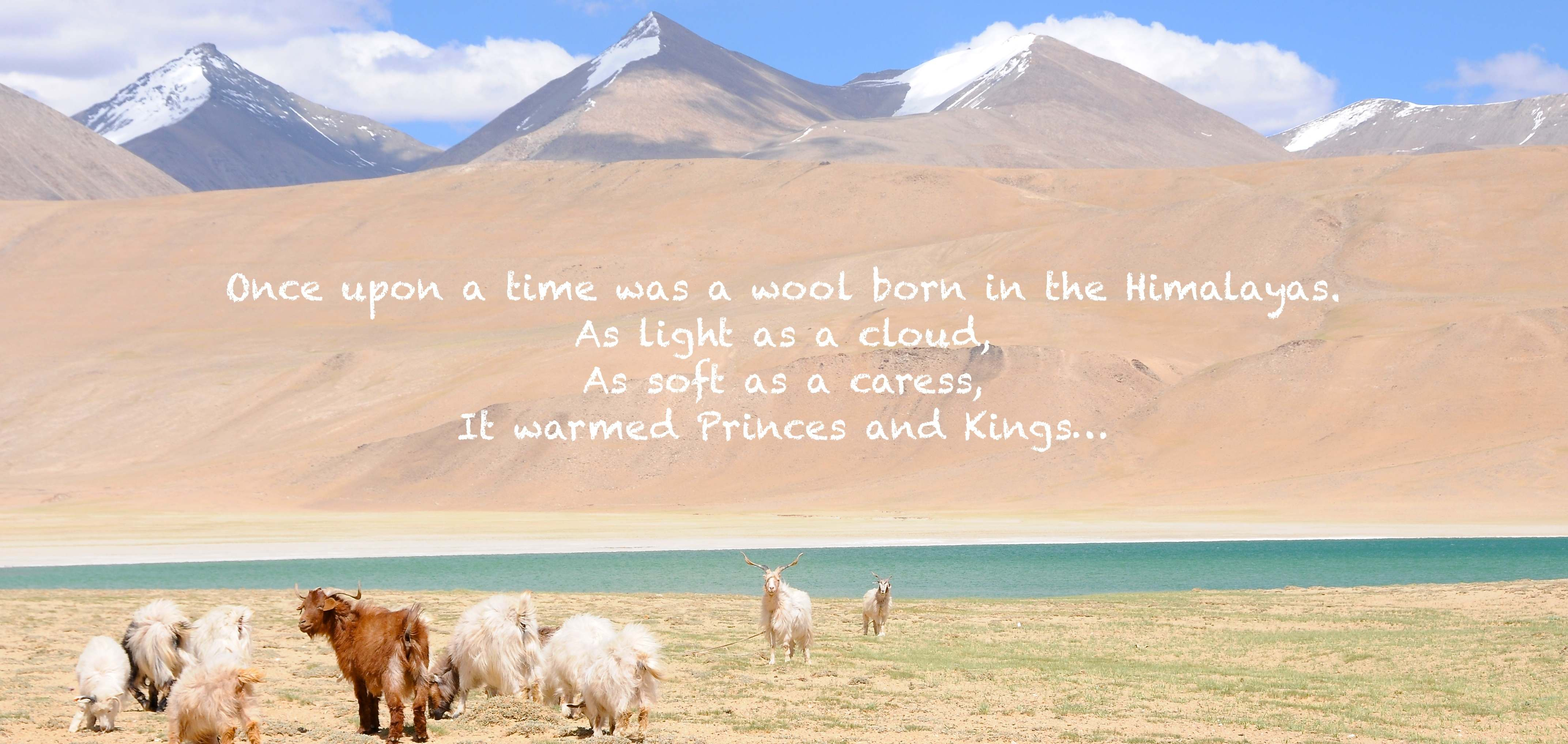 the changra pashmina goats live in the himalayas at 4500m high in ladakh